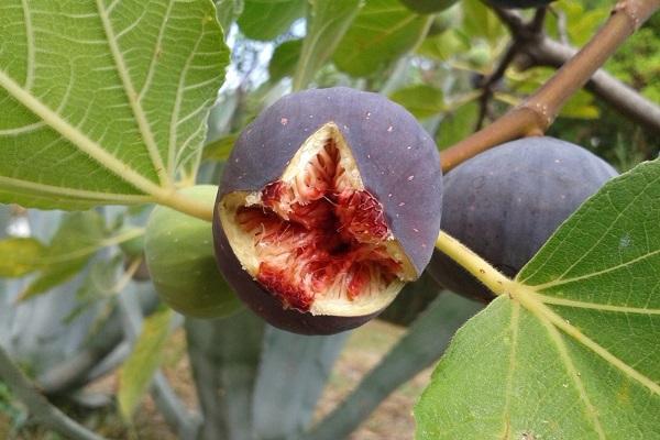 Сок листьев инжира
